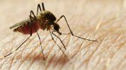 mosquitos machos