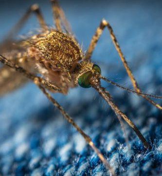 mosquitos geneticamente modificados